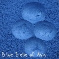 Blue Belle of Asia